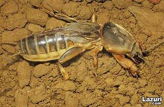 Ğvapa. Danaburnu böceği.
